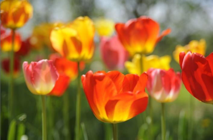 i miei tulipani Tulipa10