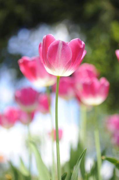 i miei tulipani Tulipa11