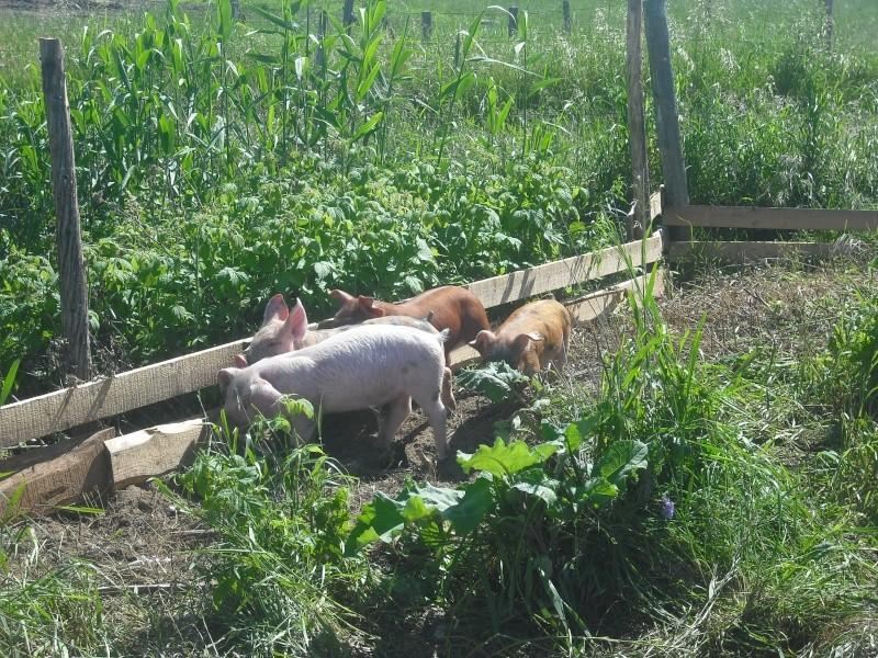 Voici nos cochons Dscf0056