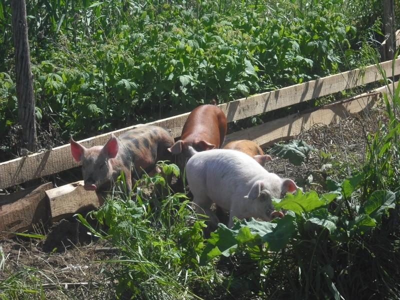 Voici nos cochons Dscf0057