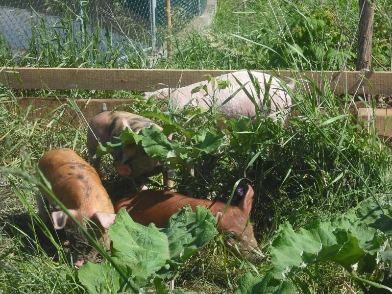 Voici nos cochons Dscf0059