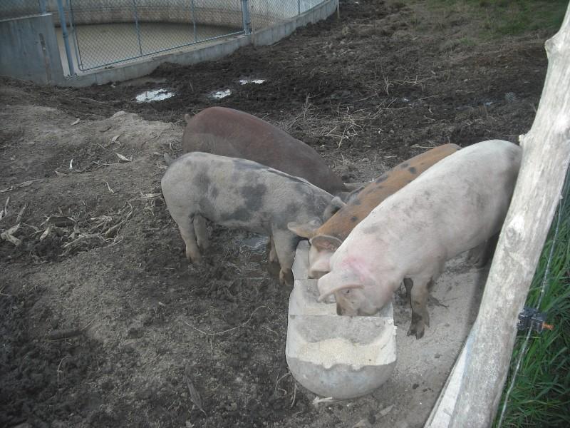 Voici nos cochons Dscf0190