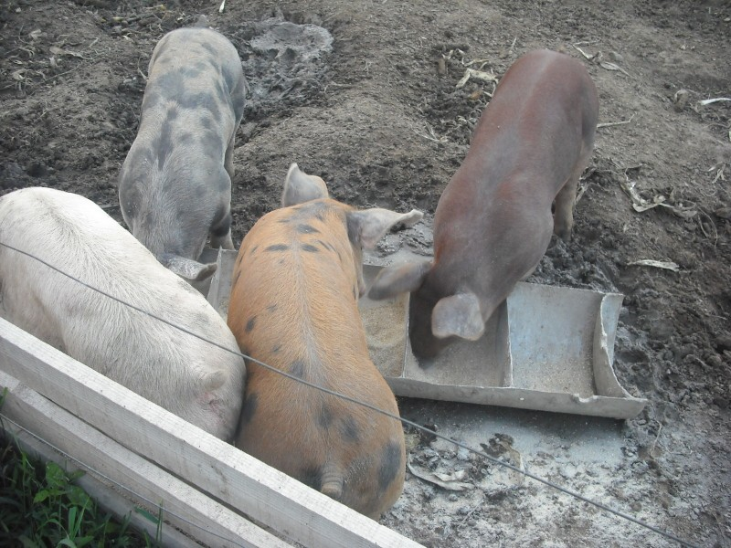 Voici nos cochons Dscf0191