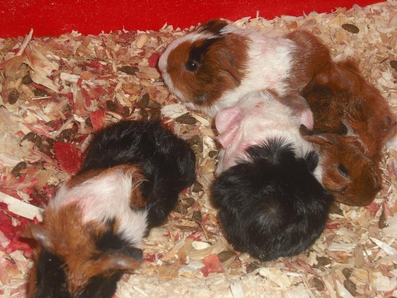 mes cochons d'inde Dscf0215