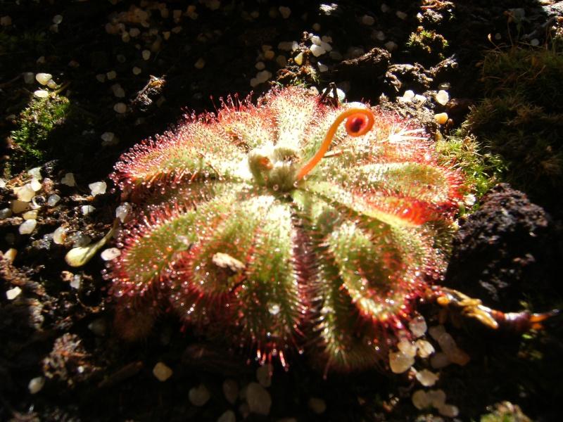 D. aliciae au soleil couchant Dscf0107