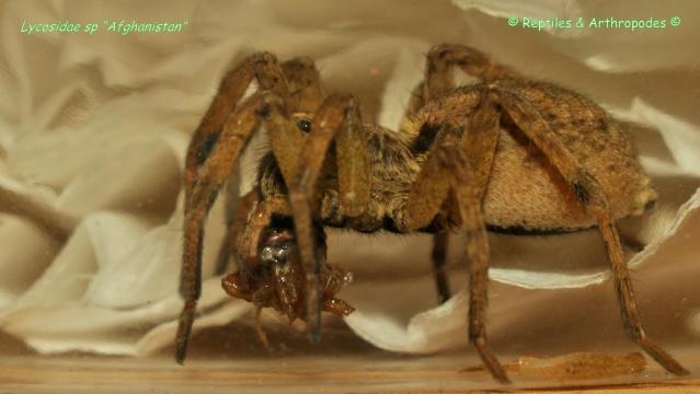 "Lycosidae sp ""Afghanistan"" (arachnides) Lycosi10"