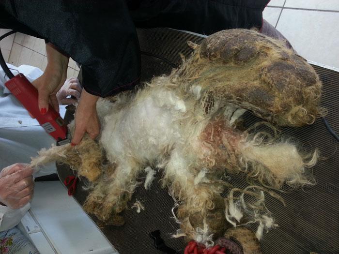 36 bichons retirés de leur enfer 20130512
