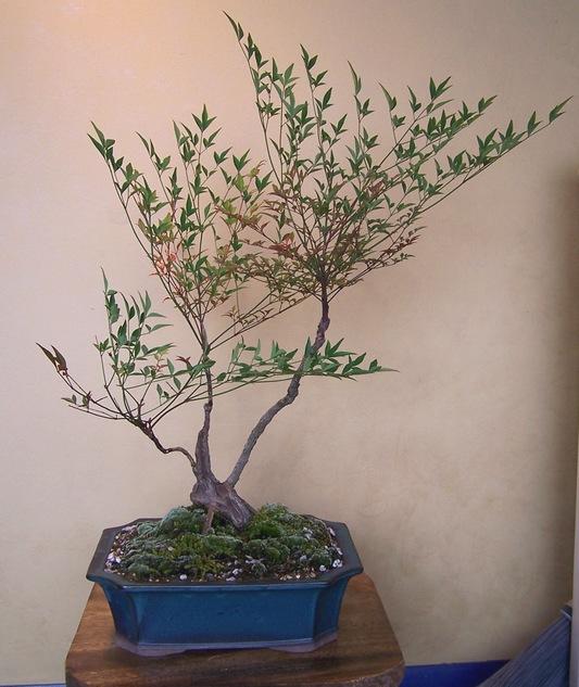 Nandina domestica - heavenly bamboo 5-12_c10