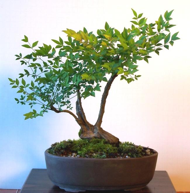 Nandina domestica - heavenly bamboo 6-13_a10
