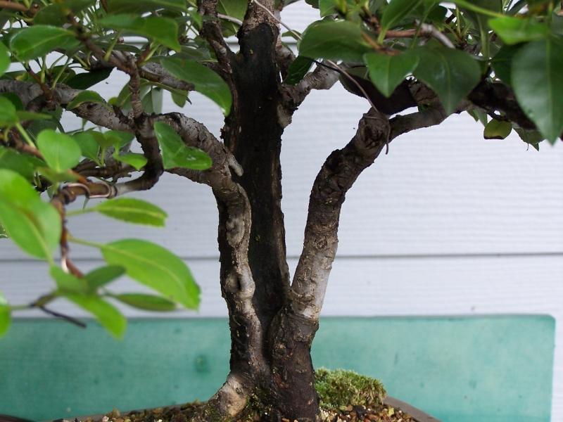 Split trunk pear - update Split_10