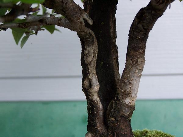 Split trunk pear - update Split_11