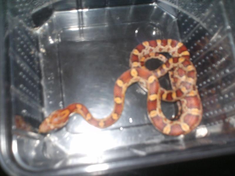 Voici mes serpents Zig-Zag,Newton & Kha Serpen40