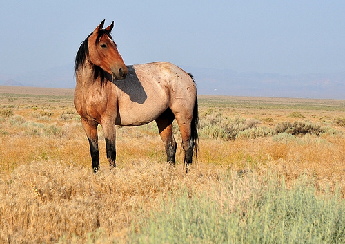 Herd of horses Blaser14