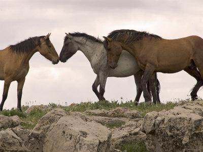 Herd of horses Blaser15