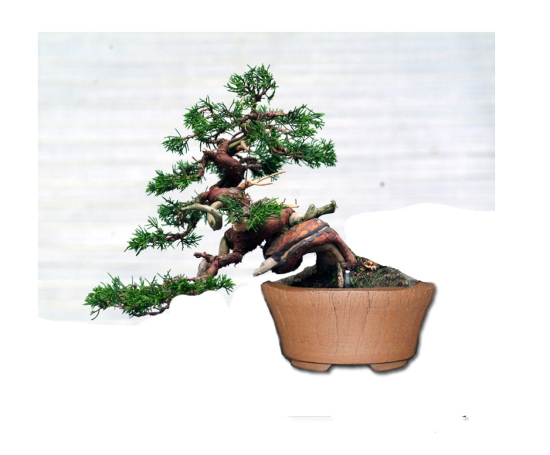 "The ""Corkscrew Juniper"" Challenge: Fiona_11"