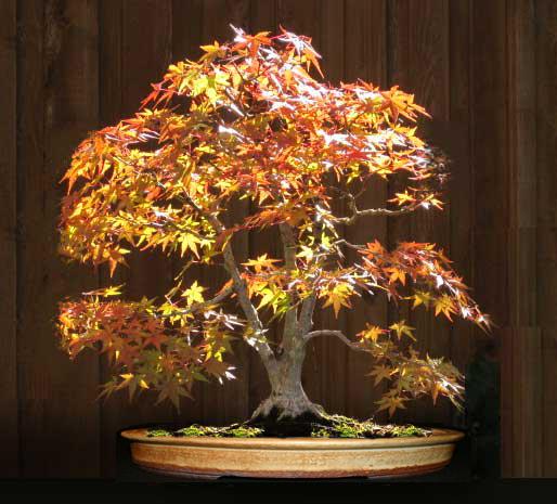 Pot choice for Acer palmatum? Normap11