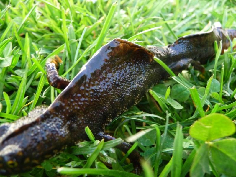 herping du 18 mars 2009 - amphibiens... P1000411