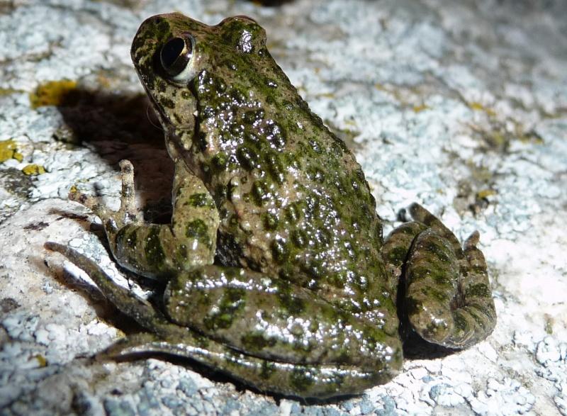 herping du 18 mars 2009 - amphibiens... P1000412