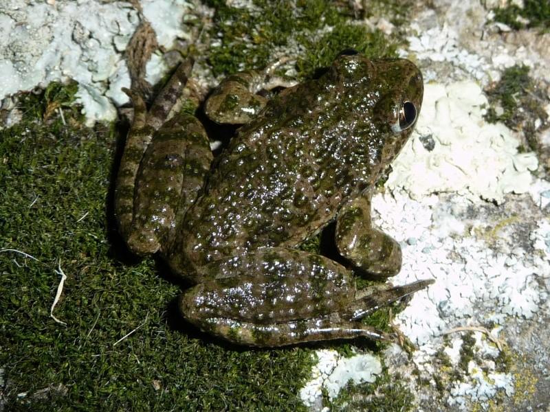 herping du 18 mars 2009 - amphibiens... P1000413