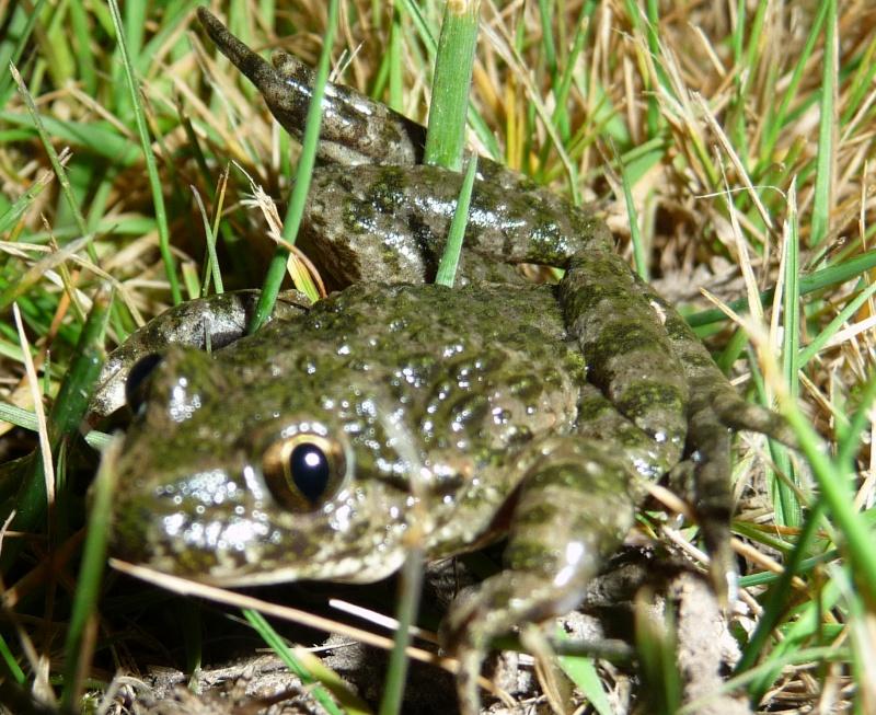 herping du 18 mars 2009 - amphibiens... P1000414