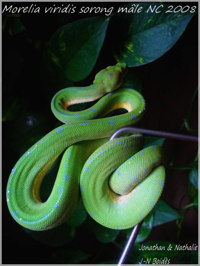 Green tree python ... Sorong Moreli12