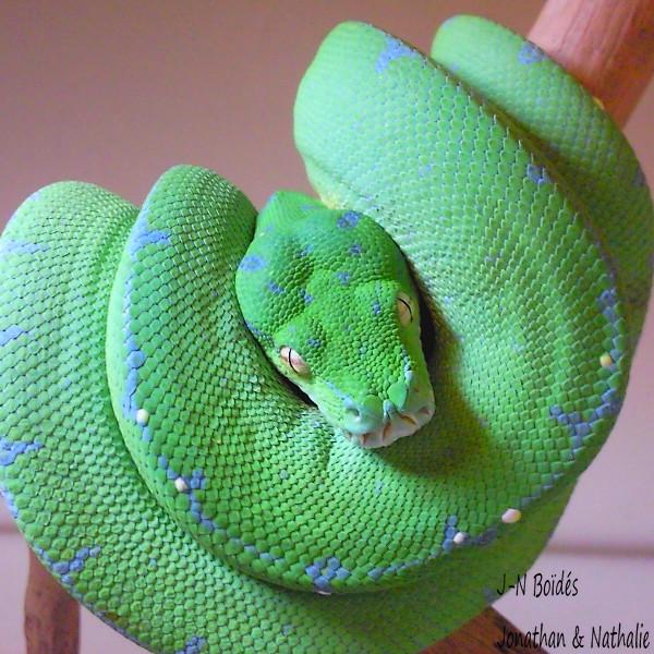 Green tree python ... Sorong Moreli16