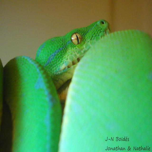 Green tree python ... Sorong Moreli24
