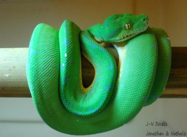 Green tree python ... Sorong Moreli25