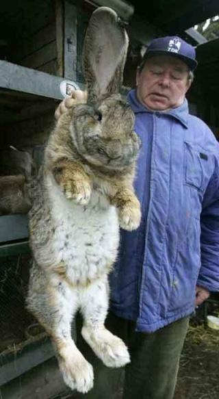 Le lapin vindict Giant-11
