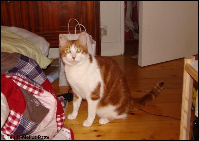 CHOUCHOU mâle roux et blanc 5 ans  Chouch12