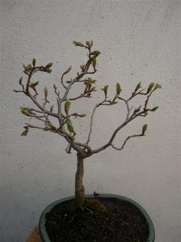 après rempotage de mes bonsaï Dscn4219