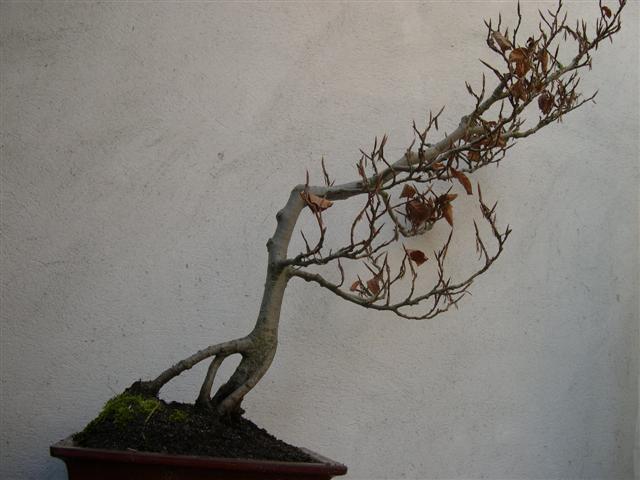 après rempotage de mes bonsaï Dscn4222
