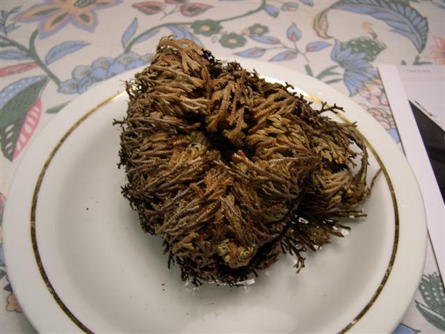 besoin de vos meninges [Selaginella lepidophylla] Dscn5124