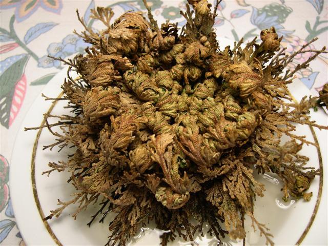 besoin de vos meninges [Selaginella lepidophylla] Dscn5126
