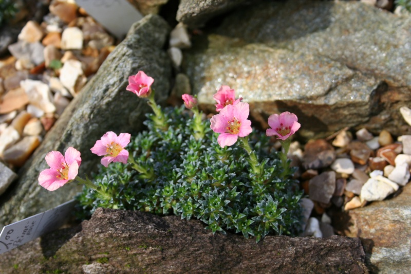 Saxifrages.... le retour. - Page 2 Img_3913