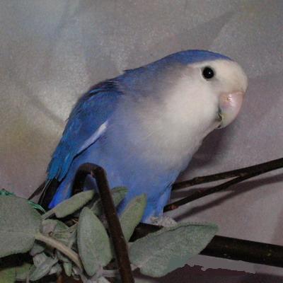 cobalto/blu Blue13
