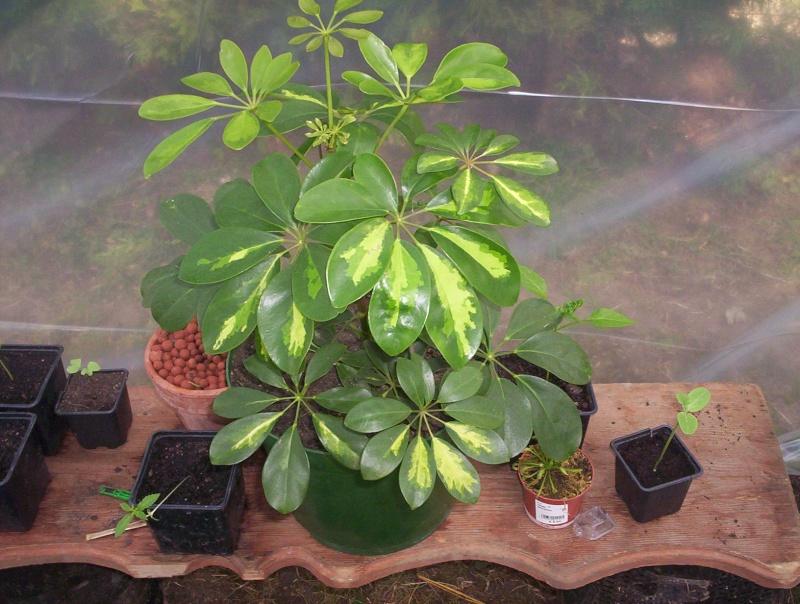 presentation des plantes de daturien... 101_2111