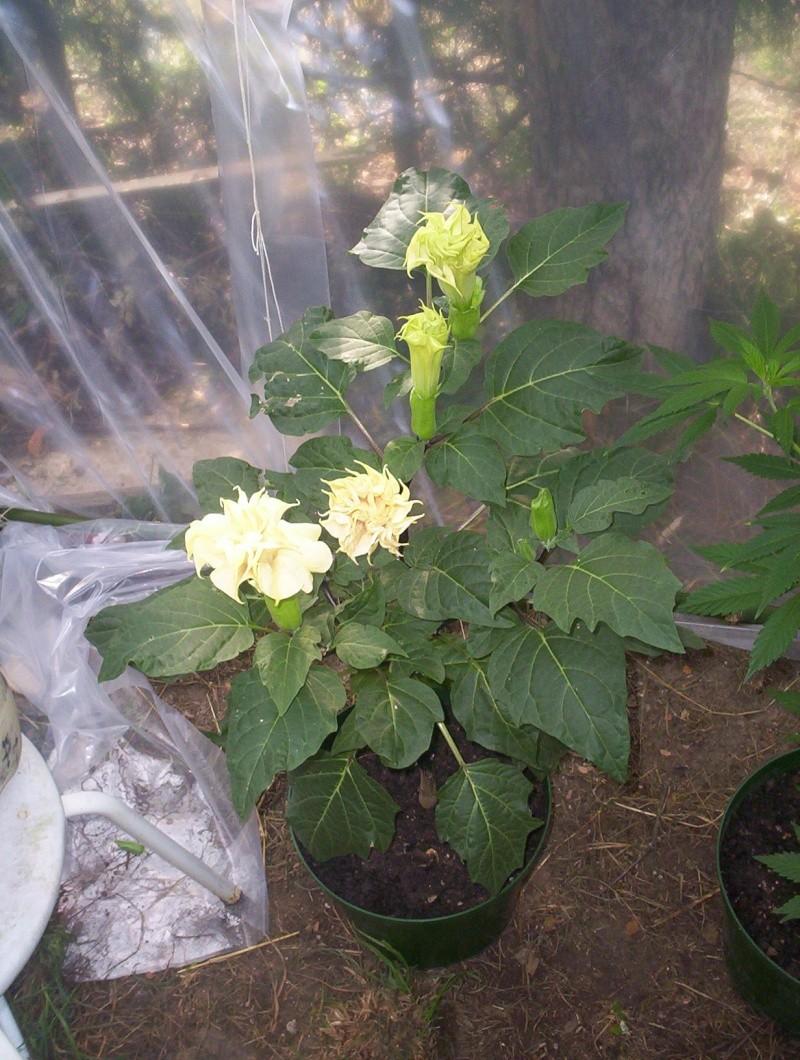 presentation des plantes de daturien... 101_2112