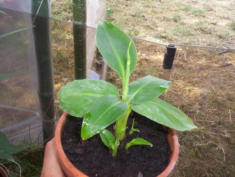 presentation des plantes de daturien... 101_2114