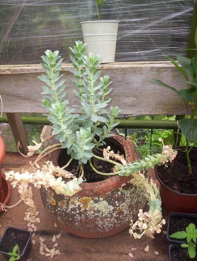 presentation des plantes de daturien... 101_2119