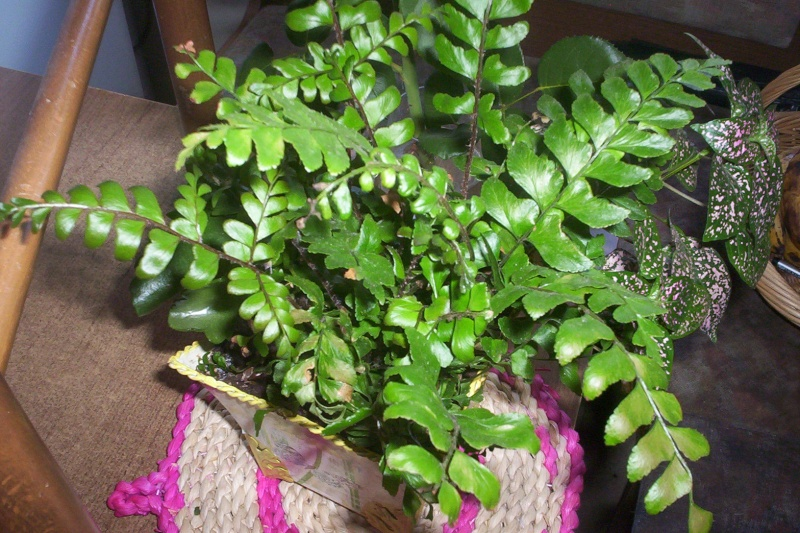 presentation des plantes de daturien... 101_2122