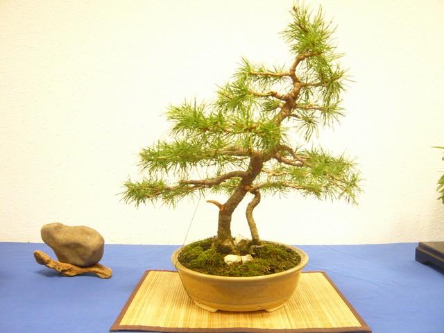 IV. Exposicion de Bonsai y Suiseki de Hondarribia Image032