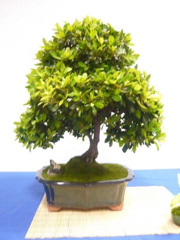 IV. Exposicion de Bonsai y Suiseki de Hondarribia Image034