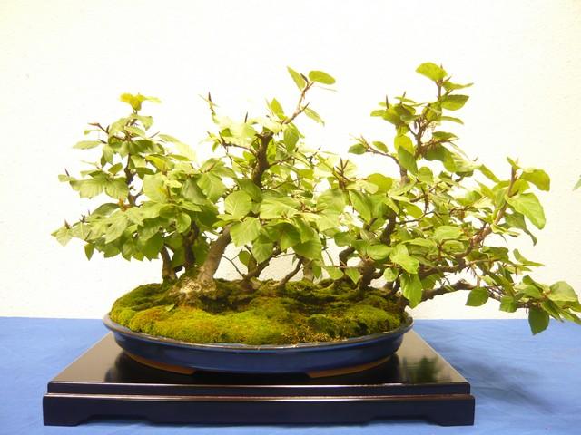 IV. Exposicion de Bonsai y Suiseki de Hondarribia Image038