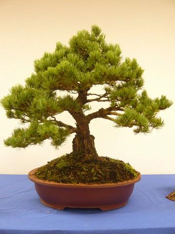 IV. Exposicion de Bonsai y Suiseki de Hondarribia Image041