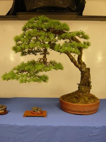 IV. Exposicion de Bonsai y Suiseki de Hondarribia Image049