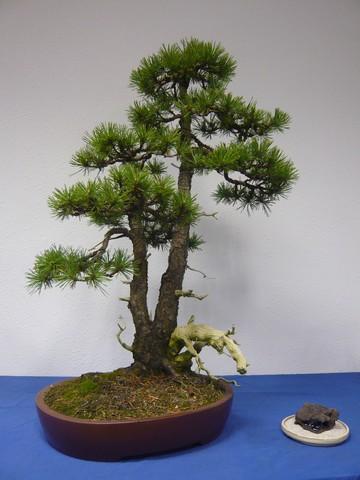 IV. Exposicion de Bonsai y Suiseki de Hondarribia Image050