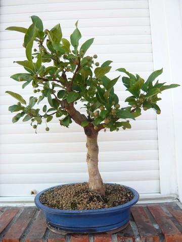 Evolucion de un Manzano P1020610