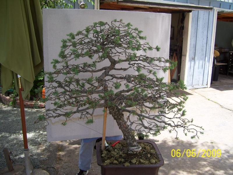 Big Italian Stone pine Two_ra21