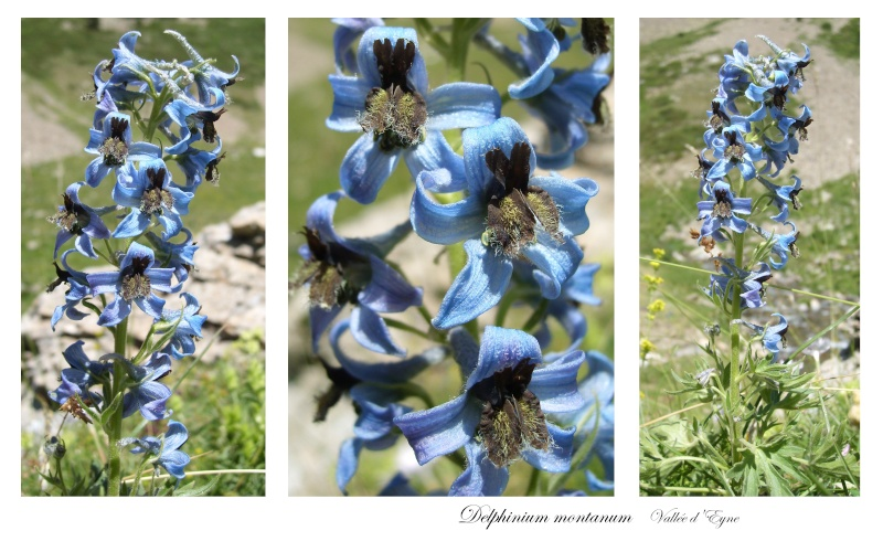 Quelques fleurs sauvages Delphi10